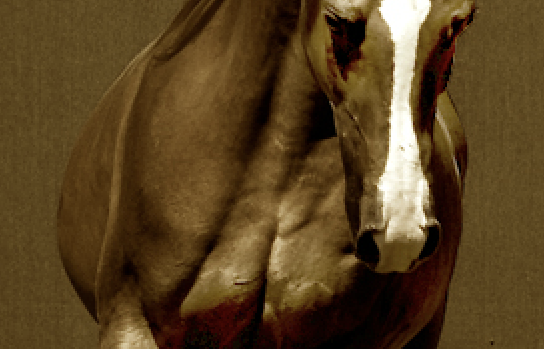 A Major Fire Purebred Arabian Stud
